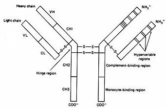 Antibody Structure Diagram