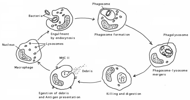 Phagocytes Diagram | www.pixshark.com - Images Galleries ...