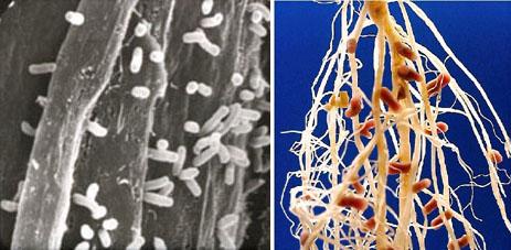 http://textbookofbacteriology.net/Rhizobium.combo.jpg
