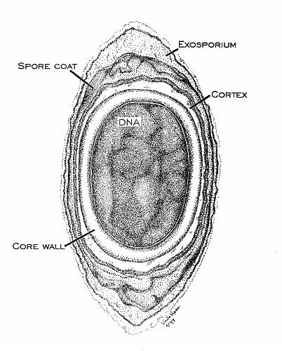 bacillus and related endospore