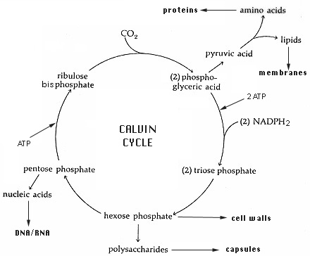 the calvin cycle A simple outline of the process of photosynthesis, showing the light reactions and the calvin cycle by daniel mayer, credit link below.