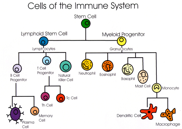 Image result for cellular lines for Immune