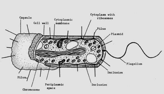 Figure 1.cutaway drawing of a typicalbacterial cell illustrating